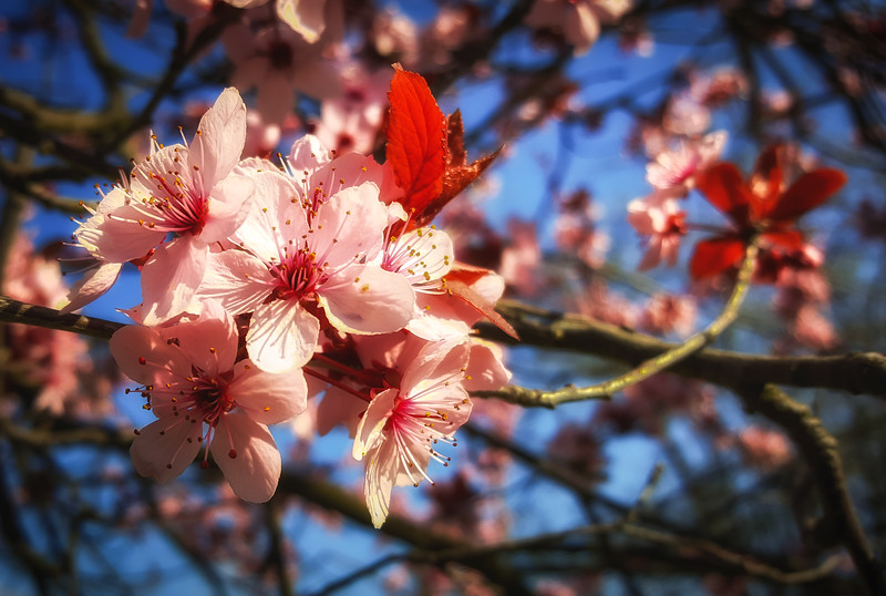 Blossoms in Pink