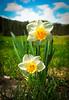 Daffodils in Daylight
