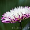 Chrysanthemum- 2