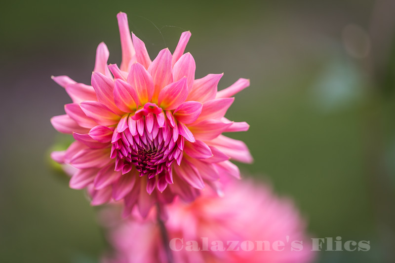 Pink Mane