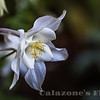 Graceful Columbine