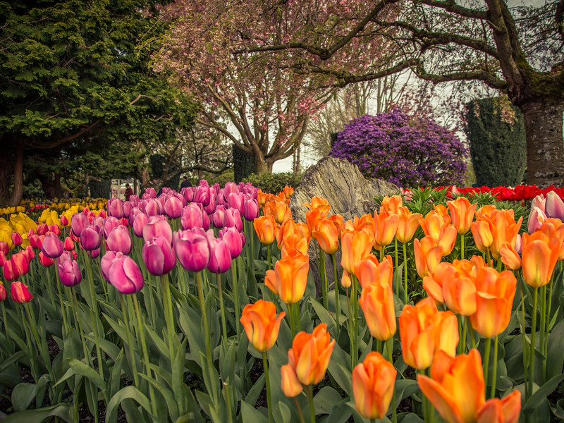 Tulips in Shades of Red And Orange-3