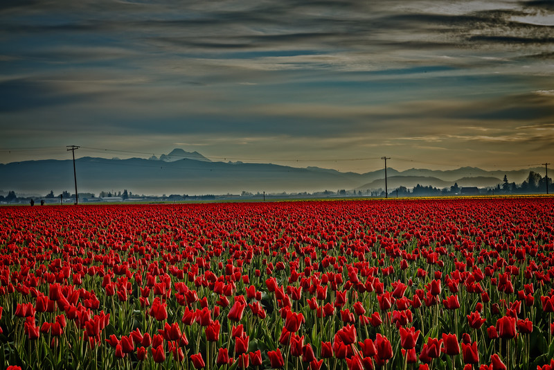 Red Tulips and Mount Baker-