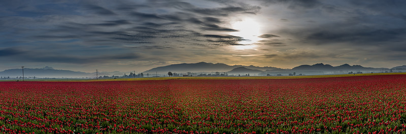 Skagit Valley Tulips In Pano-