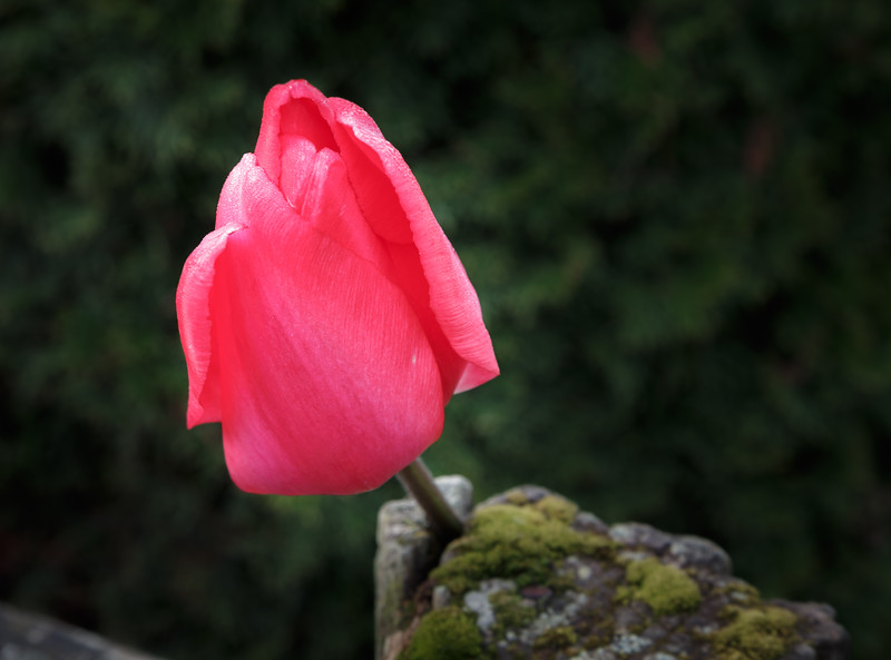 Tulip On A Mossy Post-4