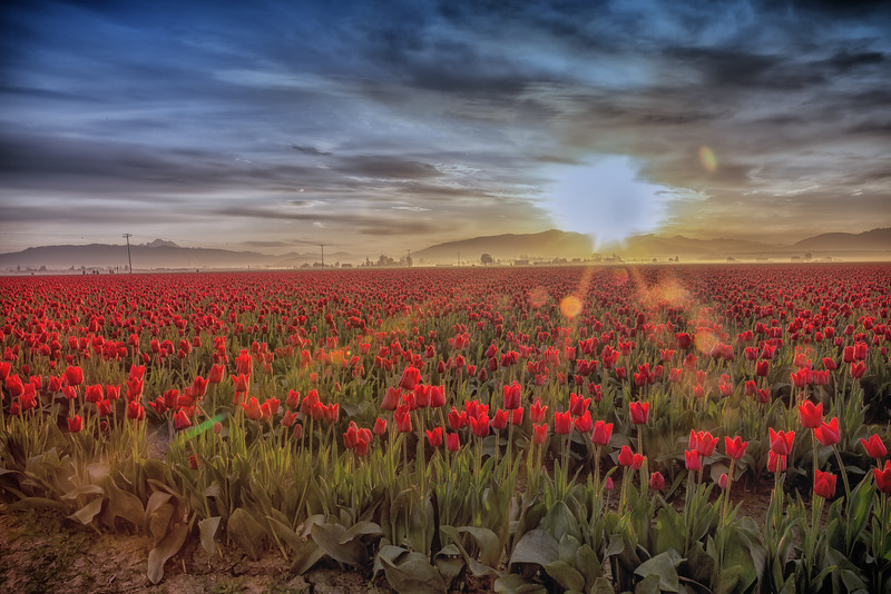 Red Tulips and SunBurst-2