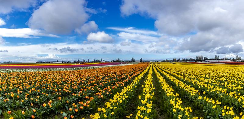 Tulip Raibow-