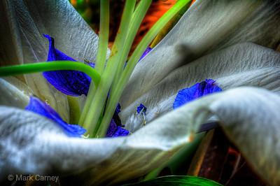iridescent caerulea