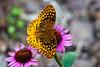 Nak Butterfly-2