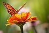 Butterfly-Zinnia 2