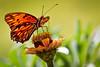 Butterfly-Zinnia 1
