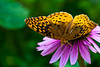 Nak Butterfly