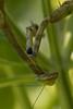 Basil Mantis 2
