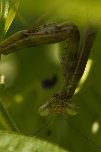 Basil Mantis 3