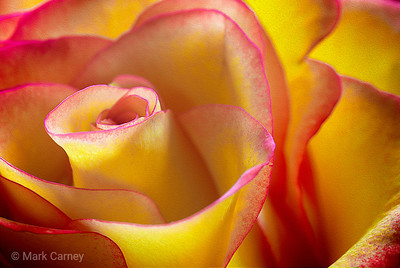march rose 5