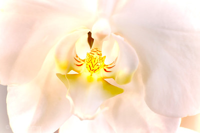 orchid 10