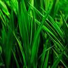green leeves