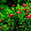 magenta daisys 4