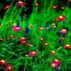 magenta daisys 2