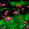 magenta daisys