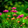 magenta daisys 3