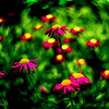 magenta daisys 5