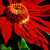 glowing red gerber daisy