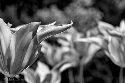 yellow tulip 1