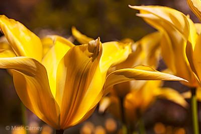 yellow tulip 6