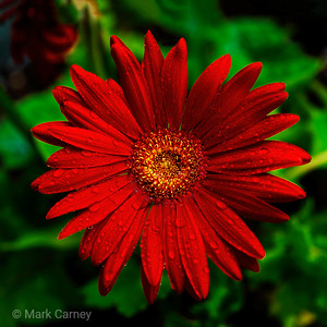 red flower in rain