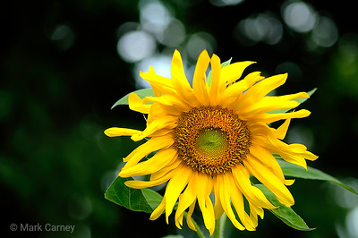 sunflower right