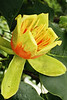 The spring-blooming flower of the Tennessee State Tree, Tulip Poplar.