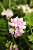 Crown Vetch, near Tellico Plains, east Tennessee