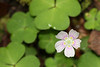 Wood Sorrel, from Cherokee National Forest, near Tellico Plains, Tennessee.