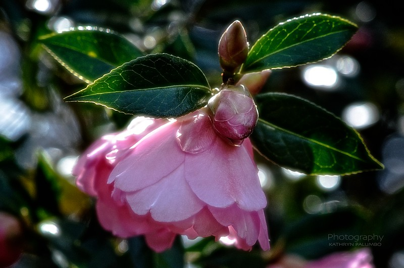 Camellias Flower and Buds