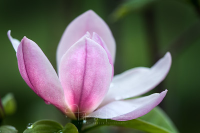 Blooming Magnolia Bliss