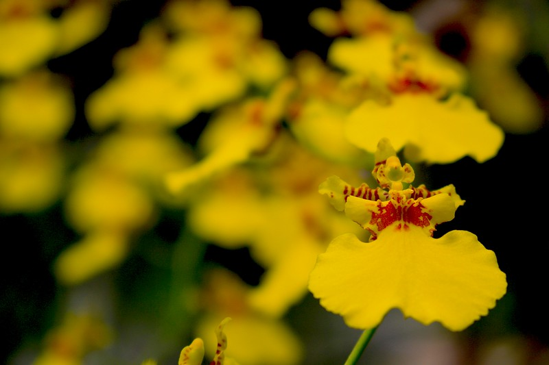 Little Yellow with Red Orchids