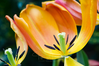 Sunrise Tulip