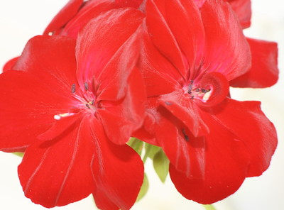 Geranium Big Red