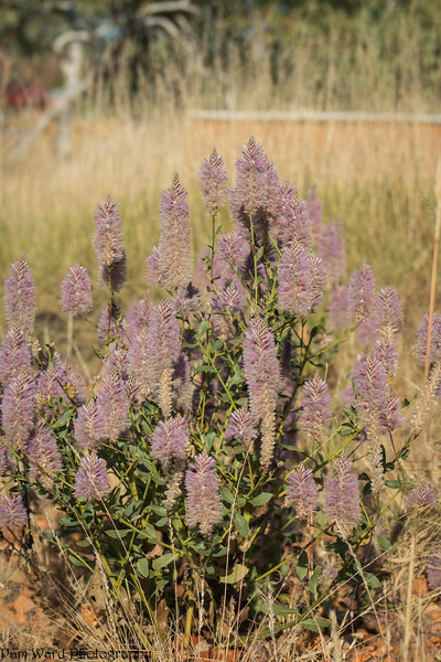 Mulla Mulla Flower Kimberley