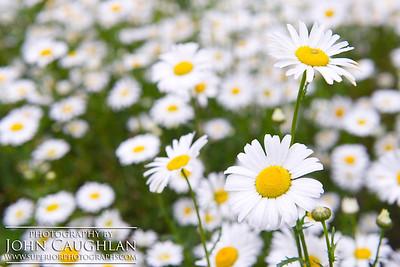 Daisy2b