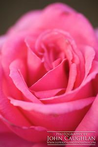 Rose(pink6c)