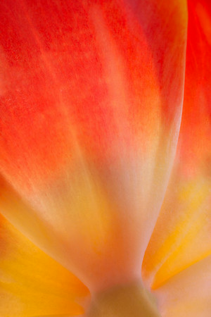 Tulip Macro 2<br /> © Sharon Thomas