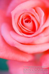 Rose(pink6e)