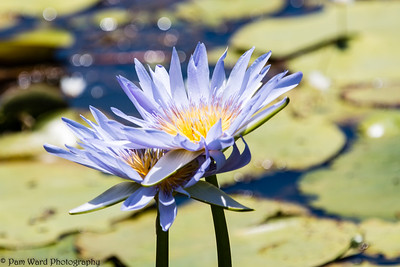 Violet Waterlilies
