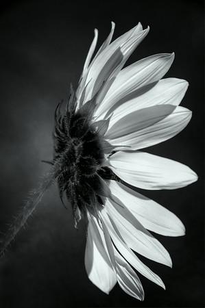 Sunflower<br /> © Sharon Thomas