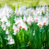 Monet's Daffodils - Giverny, France