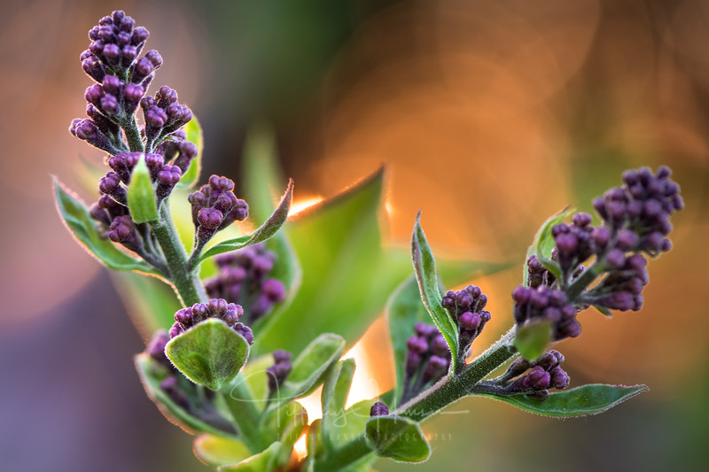 Lilac Buds at Sunset