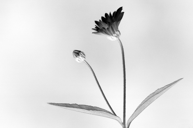 Simple negative image of a black and white daisy
