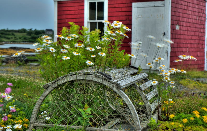Lobster Trap daisies